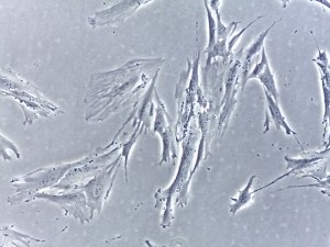 Stem Cells 20X magnification